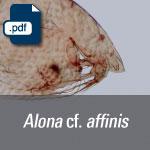 Alona cf. affinis.