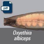oxyethira albiceps.