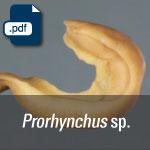 Prorhynchus sp.